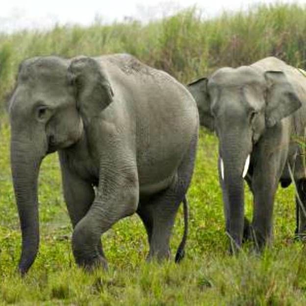 Os elefantes indianos majestosos