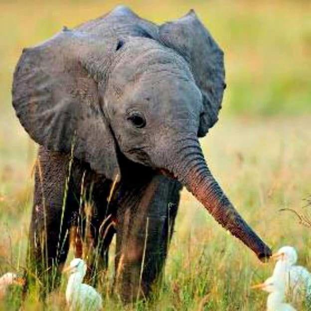 Os elefantes começaram a se sentir ansiosos